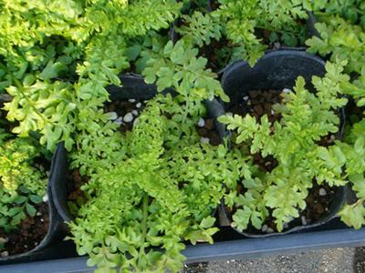 Schizanthus nae.jpg