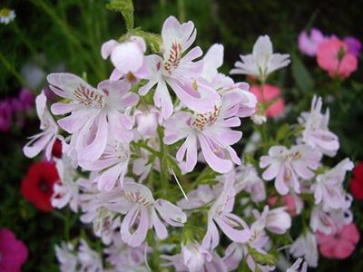 Schizanthus・ピナタス・エンジェルウィンク.jpg