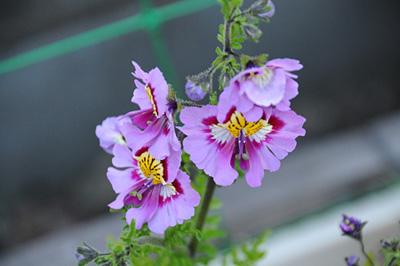 Schizanthus.jpg