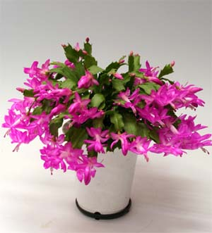 Schlumbergera Beauty shyness.jpg