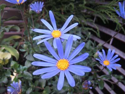 blue daisy300.jpg