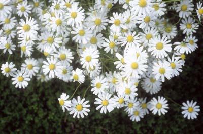 chamomileA.jpg