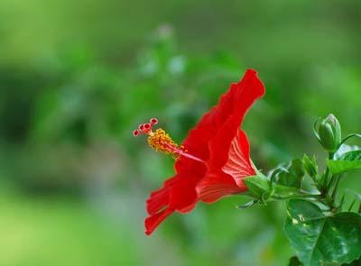 hibiscusA.jpg