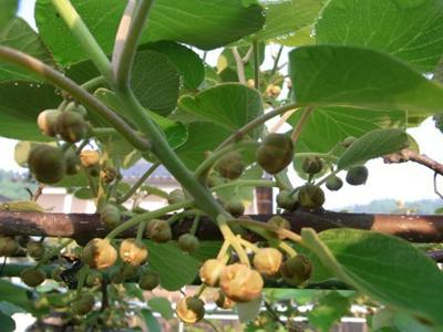 kiwifruititubomi.jpg