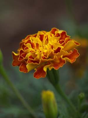 marigoldsX.jpg