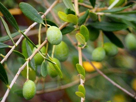 olive003.jpg
