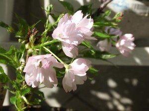 sakura-bonsai002.jpg