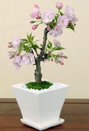 sakura-bonsai003.jpg