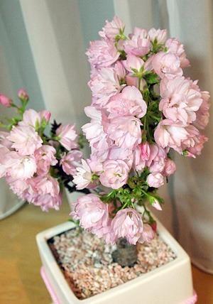 sakura-bonsai004.jpg