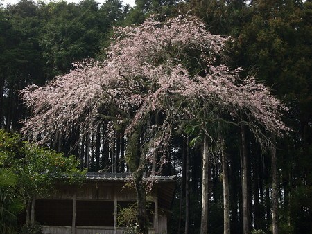 sakura-new031.jpg