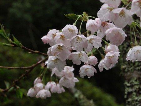 sakura-new032.jpg