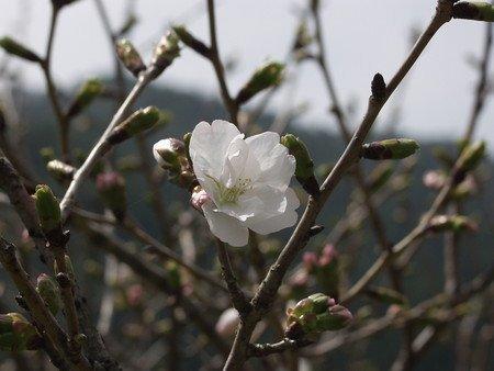 sakura-new033.jpg