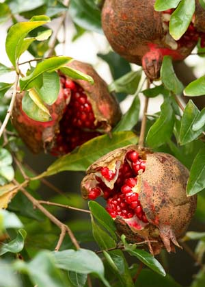 ザクロの実がつかない理由は? , 花と木の育て方│元気に生長